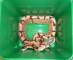 Insgesamt sechs Königsphyton-Schlangen wurden im Reisegepäck transportiert. (Bild: zvg)