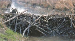 Solch schöne Biberdämme können z. B. mit dem Einbau von Rohren für den Wasserdurchlauf für den Nager bewohnbar bleiben. (Bild: Mathis Müller)