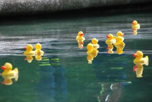 Mehr oder weniger langsam dümpelten die Enten im Inselgraben dahin. (Bild: Thomas Martens)