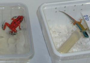 Ein Frosch und der Gecko. (Bild: zvg)