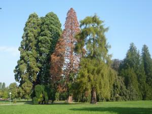 Ein grosser Mammutbaum beim Schloss Seeburg wird infolge Krankheit gefällt. (Bild: Bauverwaltung Kreuzlingen)