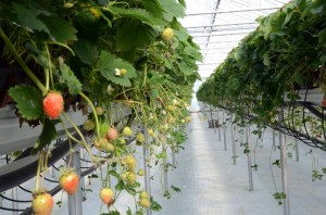 Erdbeerkulturen im neuen Gewächshaus des «Sonnenhofs». (Bild: ID / Susanna Horber)