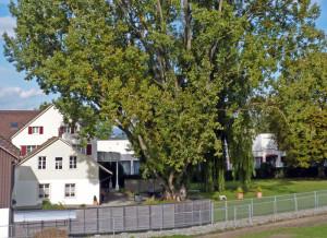 Kanadische Pappel im Garten der Klinik Seeschau. (Bild: Uwe Harder)