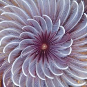 Riff-Kunst Röhrenwurm. (Bild: zvg)