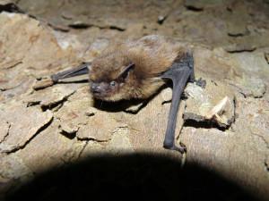Die Mückenfledermaus ist der Star der Exkursion. (Bild: W. D. Burkhard)