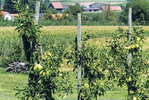 Bei hohen Temperaturen steigt die Gefahr von Feuerbrand im Obstbau. (Bild: Archiv)
