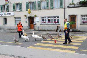 Wie sich's gehört: Familie Schwan überquerte die Strasse auf dem Fussgängerstreifen. (Bild: Kapo TG)