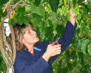 «Wenn die Haut kinderzart und weich ist, dann ist die MiniKiwi reif», sagt Manuela Wehrle, Mini-Kiwi-Produzentin aus Freidorf. (Bild: zvg)