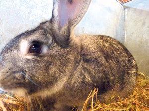 Die prämierte Kaninchenrass Chinchilla von Klaus Blättler.