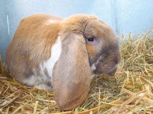 Kaninchen der Rasse französischer Widder von Myrtha Hutter. (Bilder: dh)