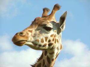 Giraffe. (Bild: commons.wikimedia.org)