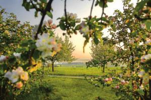 Blick durch die Apfelblüten in Altnau. (Bild: Thurgau Bodensee)