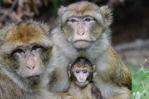 Lentigo, der neue Chef in der größten Berberaffengruppe (links im Bild) am Affenberg Salem, kümmert sich um die Babys und nutzt diese gleichzeitig aus, um Kontakte mit Koalitionspartnern (rechts im Bild) zu knüpfen. (Foto: Affenberg)