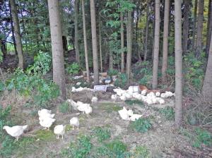 Zirka 140 Hühner wurden im Wald ausgesetzt. (Bild: Kantonspolizei Thurgau)