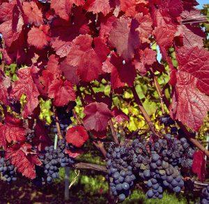 Auf dem Arenenberg kann man seine Trauben eigenhändig pflegen, um sie schlussendlich zu Wein zu verarbeiten. (Bild: Herbert Walter Krick  / pixelio.de)