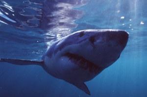 Der Hai: Ein evolutionäres Erfolgsmodell. (Bild: Greenpeace)