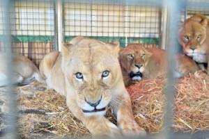 Löwe im Circus Royal in Weinfelden. (Bild: zvg)