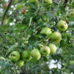 Äpfel sind gesund. (Bild: zvg)