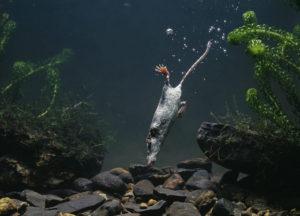 Ungewöhnliche Jagdgründe: Die Wasserspitzmaus erbeutet den Grossteil ihrer Nahrung unter Wasser. (Bild: PRISMA/Dalton)