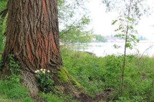 Unweit der Seerheinbadi Tägerwilen hat jemand Blumen niedergelegt. (Bild: ek)
