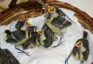 Verwaiste Jungvögel kurz vor der Fütterung. (Bild: Elsbeth Eberle)