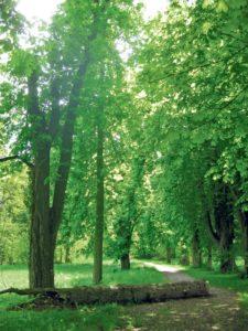 Die morschen Bäume der Tägerwiler Kastanienallee.(Bild: archiv)