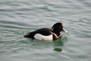 Die Reiherente gehört zu den betroffenen Arten der Vogelgrippe. (Bild: Fabio Sommaru/pixelio)